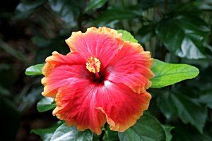 cuidados com flor de hibisco