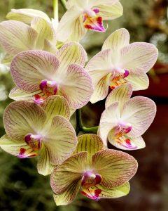 cultivar-orquideas