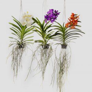 orquideas-vanda