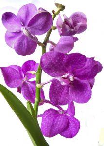 Cuidados médicos com orquidea-vanda-vanda