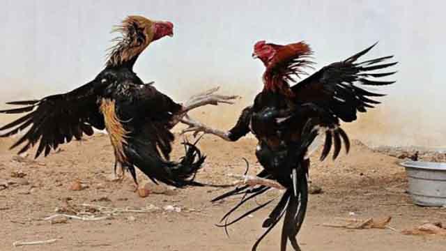 Adu Ayam Bonus Terbesar