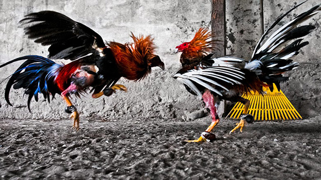 Situs Judi Sabung Ayam Online Resmi